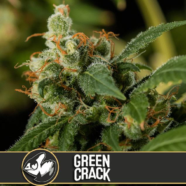 GREEN CRACK FEM (3) - BLIMBURN SEEDS