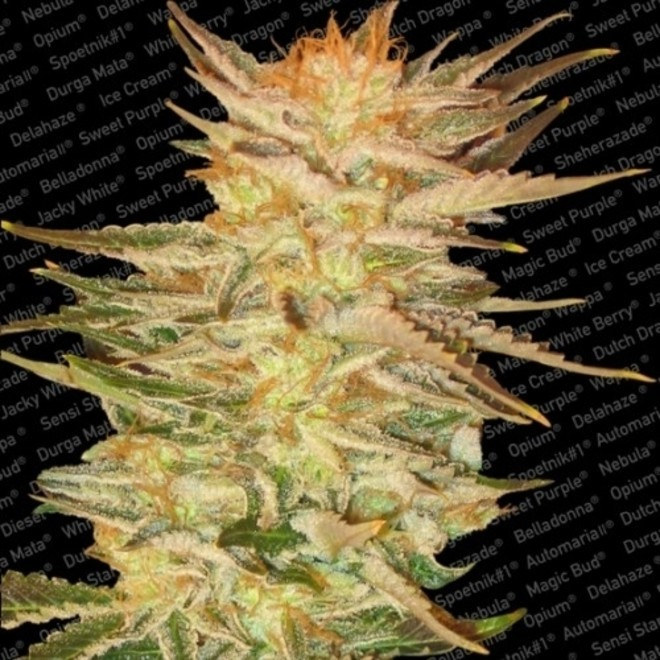 ICE CREAM FEM (3) - PARADISE SEEDS