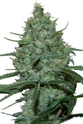 CRITICAL FEM (5) - SEEDMAKERS