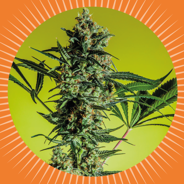 AUTO MAXI GOM (5) - SEEDS BANK GENETIC