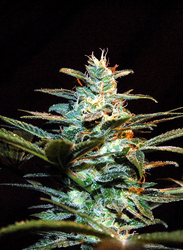 ICE COOL FEM (3+1) - SWEET SEEDS
